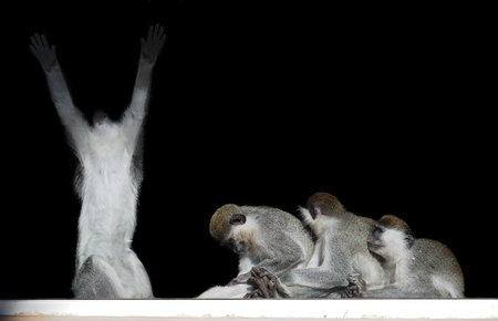 Group of monkeys sitting in a row close to each other like slaves and king isolated on black view from back Stock Photo