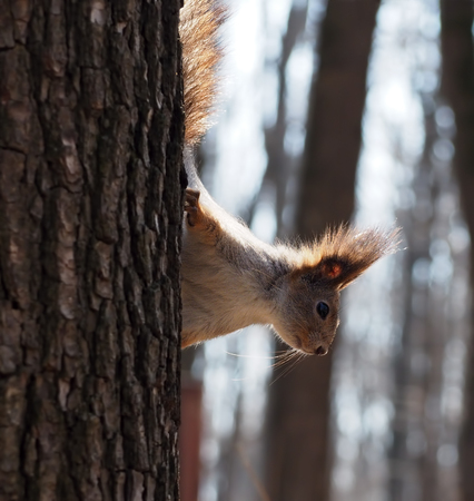 Red squirrel climbing at the tree Stock Photo