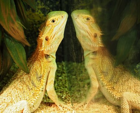 Lizard and his reflection at the mirror Stock Photo