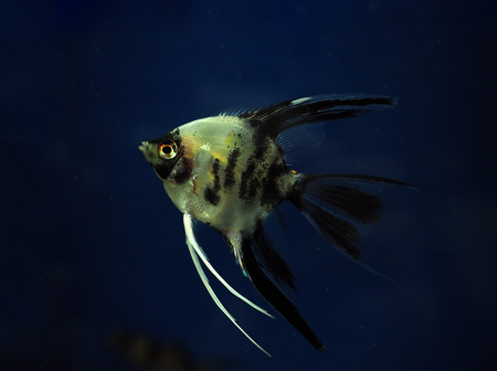 Fish Pterophyllum scalare  at the dark blue water close up Stock Photo