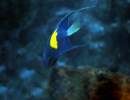 Blue fish with yellow spot at the deep ocean view from back
