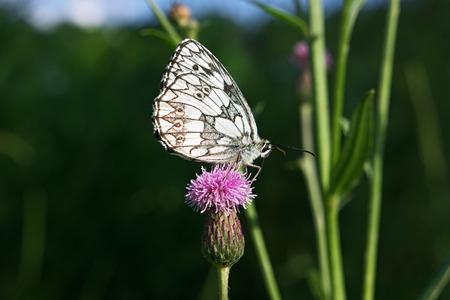 nymphalidae: Butterfly galathea melanargia at the pink flower Stock Photo