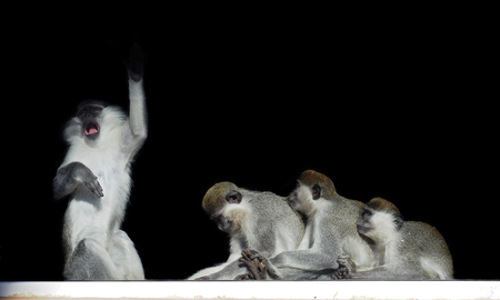 Group of monkeys sitting in a row close to each other like singer and his fans isolated on black view from back Stock Photo