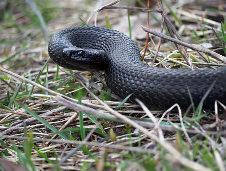 asp: Black snake at the forest on leaves ready to atack