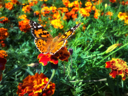 Vanessa cardui butterfly on the flower tagete