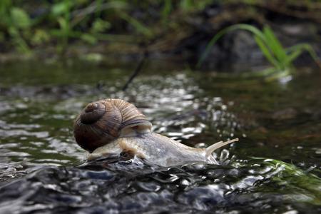 escargot rigolo: L'escargot boit sur la roche dans l'eau