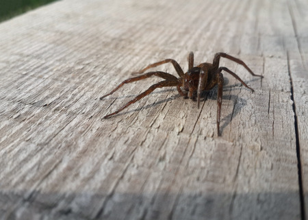 wood spider: Brown spider on the wood