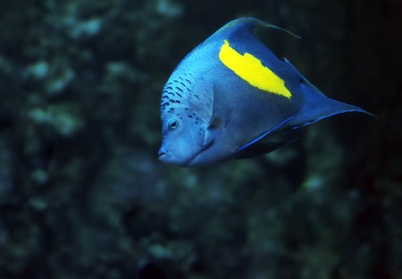 paracanthurus: Blue fish with yellow spot at the deep ocean front view looking at the camera