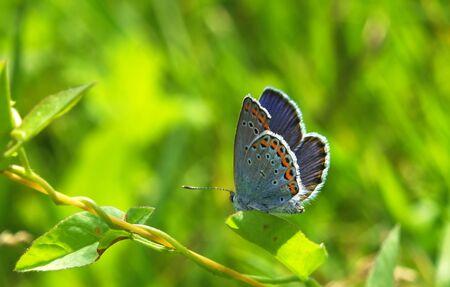 Butterfly Plebejus argyrognomon blue at the green leaf Stock Photo