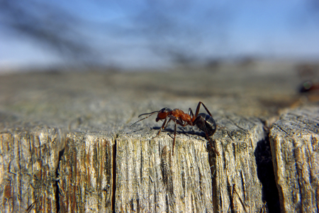 red Ant on the wood, top of tree Stock Photo