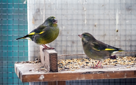 Greenfinch is sitting at the wood couple playing