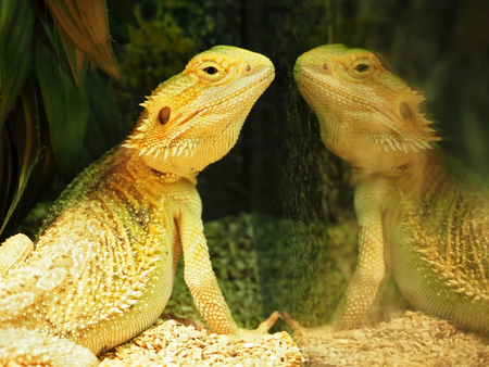 Lizard and his proud yellow reflection at the mirror