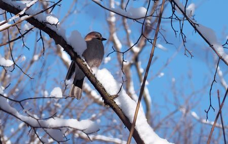 Jay sitting at the branch full of snow at the blue sky background