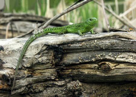 Green lizard on the tree Stock Photo