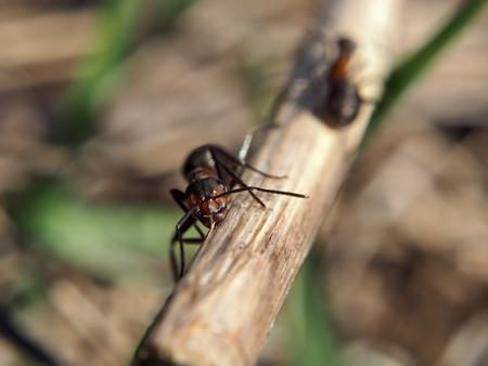 Ant at the wood stick looking at camera
