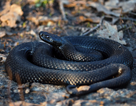 Black dangerous snake at forest at the leaves curled up in a ball Stock Photo