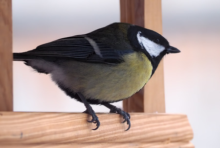 Tit with yellow plumage sitting at the wood feeder