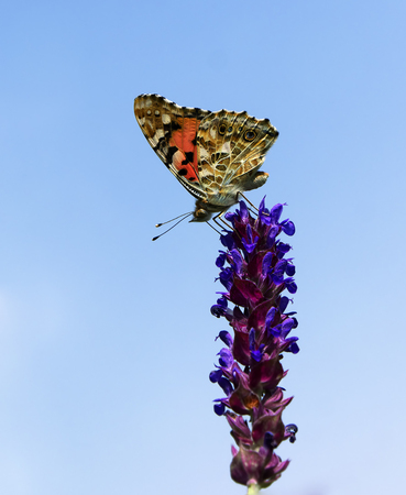 Colorful butterfly at the top of the beautiful blue flower Stock Photo