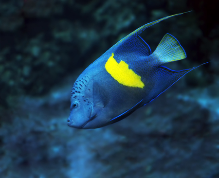 paracanthurus: Blue fish with yellow spot at the deep ocean view from left side Stock Photo