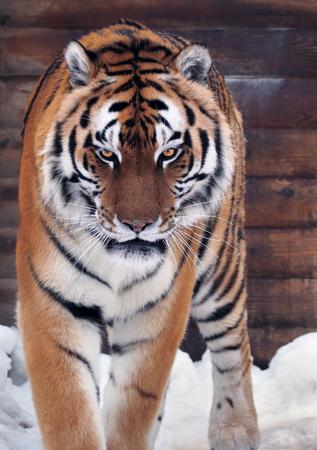 Tiger angry looking at camera