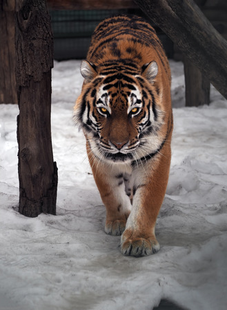 Tiger sneaks and looking at camera full size