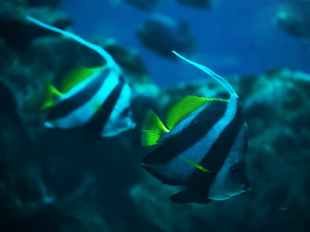 A couple of Fish Heniochus acuminatus at the deep blue ocean swimming down near the corals Stock Photo
