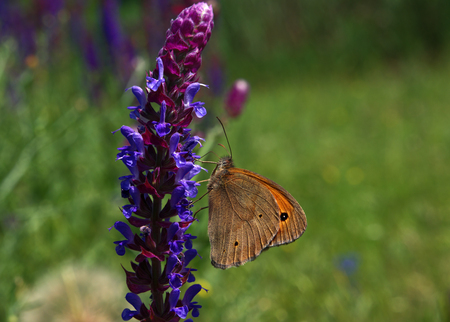 Butterfly orange Hyponephele lycaon at a sunny flower Stock Photo