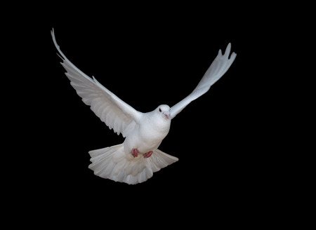 White dove flying isolated on black Banco de Imagens