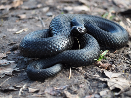 asp: Black snake curled up in the ball and looking