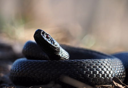 Black snake curled up in the ball and looking into the camera
