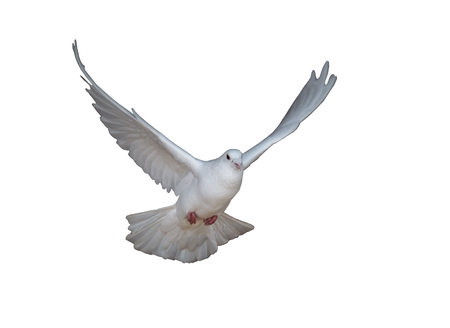 White dove flying isolated on white