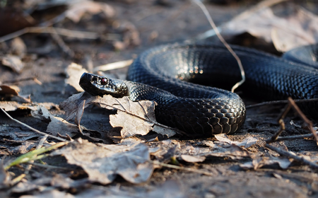 Black snake creeps into the forest at the autumn old leaves