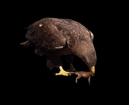 bird eating raptors: Eagle eating a frog isolated at black