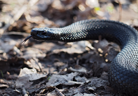 Black dangerous snake creeps at leaves at forest