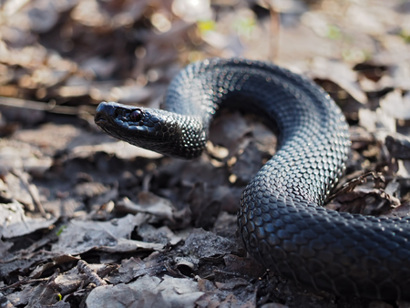 asp: Black dangerous snake creeps at the leaves at forest