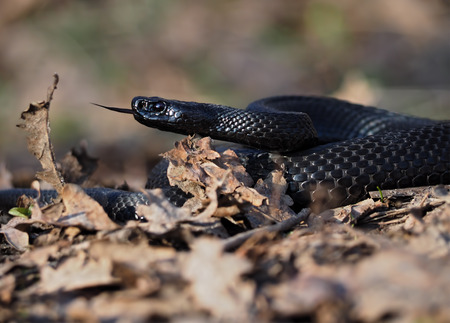 asp: Black beautifull dangerous snake creeps at the leaves at forest view from down tongue out