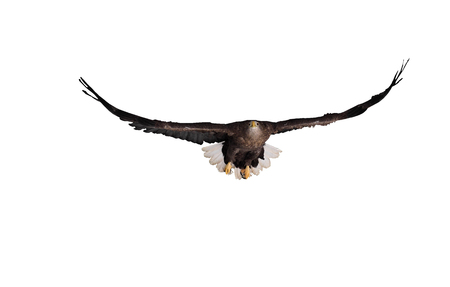 Eagle brown with the  white tail flying front view isolated at white