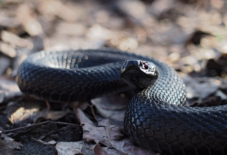 asp: Black beautifull dangerous snake creeps at the leaves at the forest looking at camera