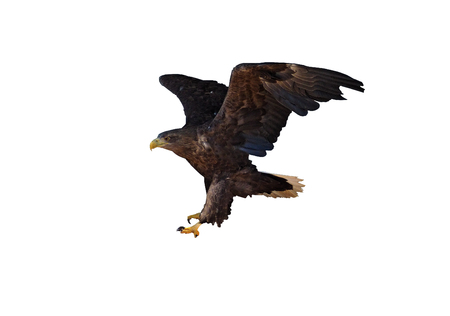 Eagle in flight landing down isolated at the white Stock Photo