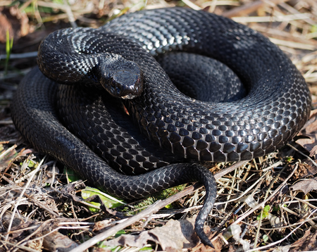 asp: Black snake hiding at the grass at the sun curled up in a ball