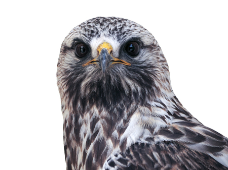 Falcon looking at camera close-up front view isolated at white