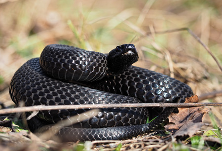 Black snake hiding at the grass at the sun curled up in ball