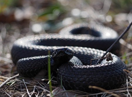 asp: Black snake hiding at grass at sun curled up in ball looking at the camera Stock Photo