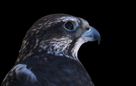 Falcon male close-up side view isolated at black Stock Photo