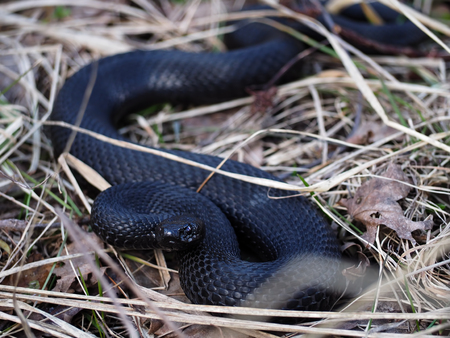 asp: Black snake hiding at the grass at sun with the  dark red eyes