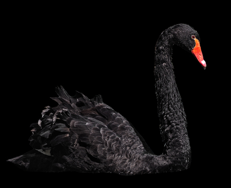 gracefully: Black swan sweaming gracefully isolated at the black