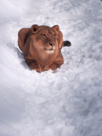great danger: Lioness laying at the snow