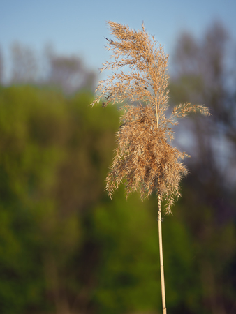common reed: Spikelet at the blue lake Stock Photo