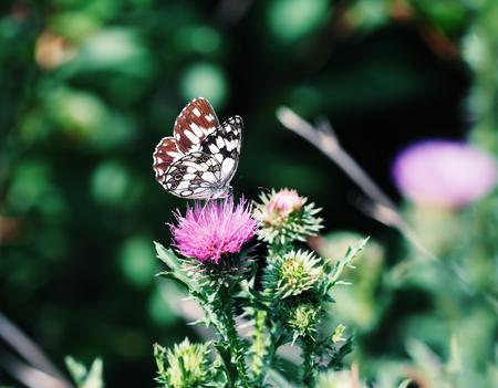 Butterfly galathea melanargia at the green grass cute