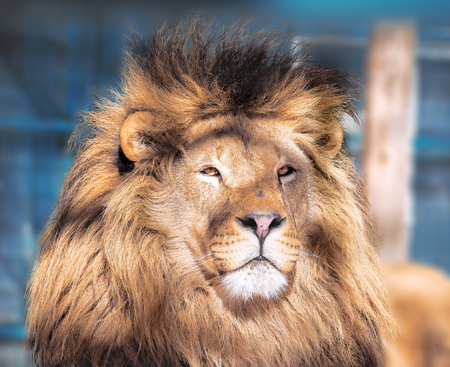 Lion close-up with clever eyes  Stock Photo